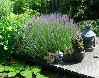 Erbacee perenni erbacee tappezzanti ed erbe aromatiche for Alberi per piccoli giardini