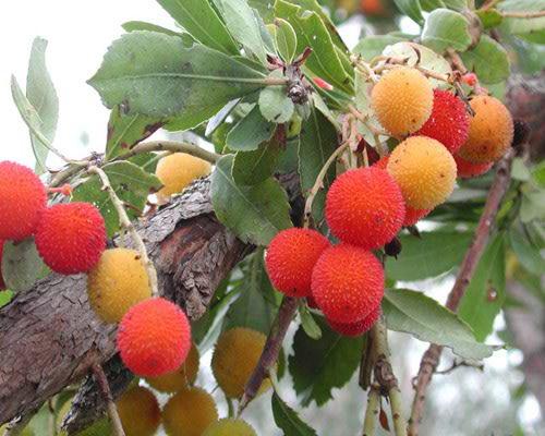 Guarda le foto delle piante ornamentali e da giardino for Cespugli fioriti perenni da giardino