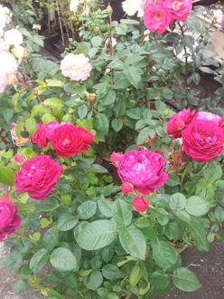 Rose inglesi antiche e moderne rose rampicanti e a for Rose inglesi