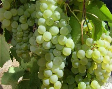 Uve da vino e da tavola barbatelle di viti a bacca bianca - Vivai rauscedo uva da tavola ...